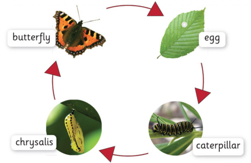 life cycle of butterfly for blog
